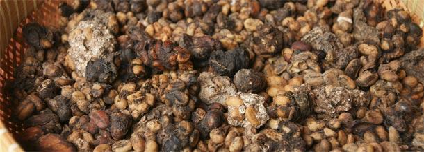 Açafrão e café Kopi Luwak: o seu peso em ouro
